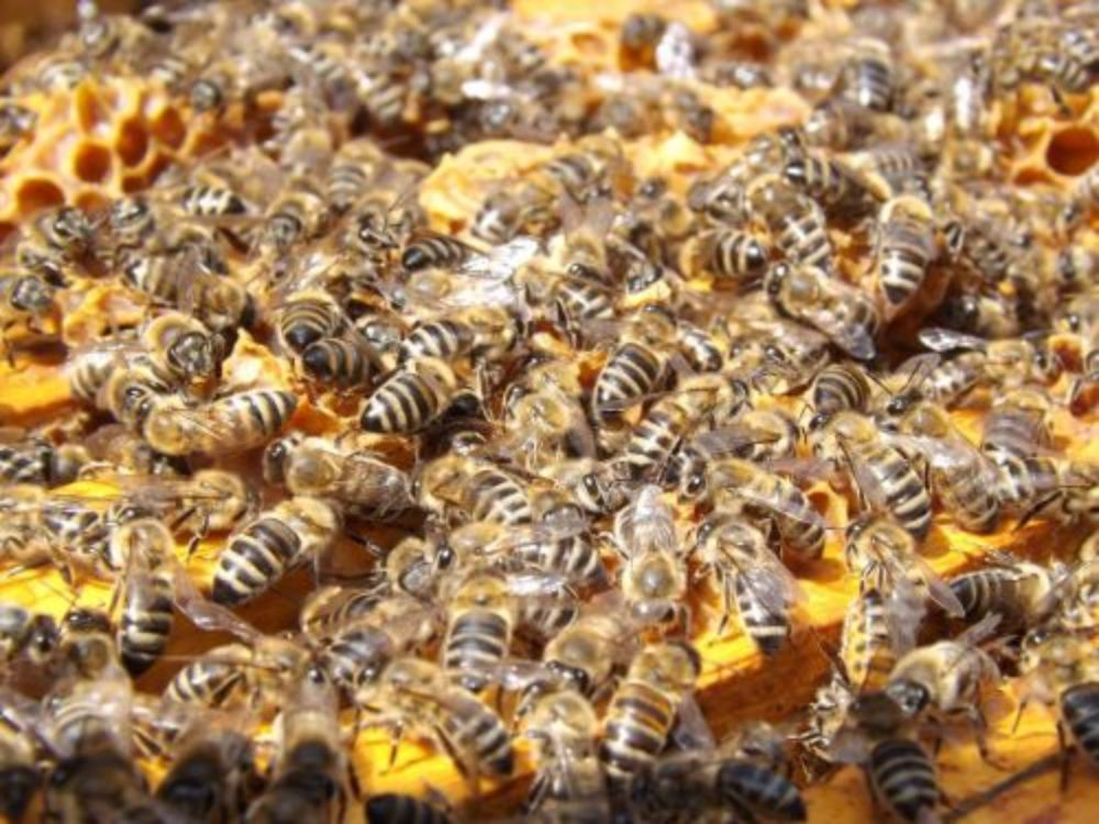 Lots of bees on honeycomb